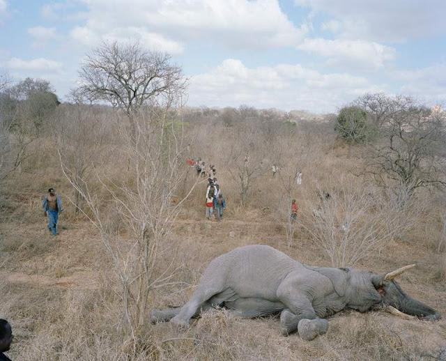 gajah-mati2